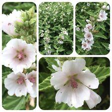 Echter Eibisch Althaea officinalis alte Heilpflanze Teepflanze Bienenweide