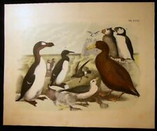 1878 GREAT AUK GIANT PETREL ORNITHOLOGY ORIGINAL LITHOGRAPH NATURAL HISTORY