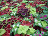 50+ COLEUS RAINBOW MIX FLOWER SEEDS, SHADE LOVING EASY TO GROW ANNUAL IN/OUTDOOR