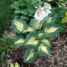 """hosta DREAM WEAVER medium thick cupped disease-free 3"""" pot ☆1 Live Potted Plant☆"""