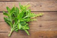 Holy Basil seed Kaprao Thai vegetable Herb Spicy Food, Ocimum Sanctum Tulasi