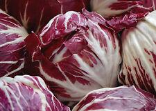 200 Samen Roter Radicchio-Salat Rossa di Verona Zichoriensalat Chicoree
