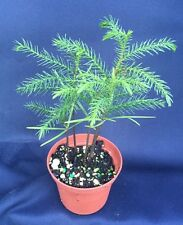 "NORFOLK ISLAND PINE, INDOOR CHRISTMAS TREE!  BEAUTIFUL PLANTS SHIPPED IN 3"" POT"