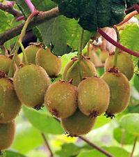 Blake Kiwi, Actinidia deliciosa 'Blake', Cold Hardy Kiwi Fruit For Your Garden.