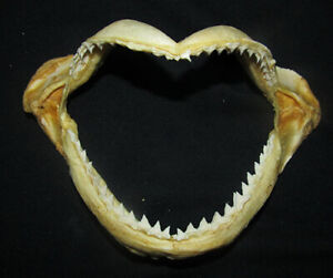 165 mm Spottail Shark Jaw Teeth Tooth  RARE Jaw shark Taxidermy