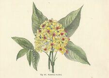 Stampa antica FIORI STAPHYLEA COLCHICA botanica 1896 Old antique print flowers