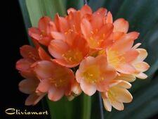 Clivia N°6    Nancy Marie X Cynthia Ann (2 Seeds/Graines)