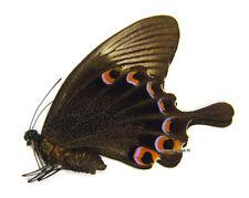 Unmounted Butterfly/Papilionidae - Papilio karna karna, FEMALE, Indonesia