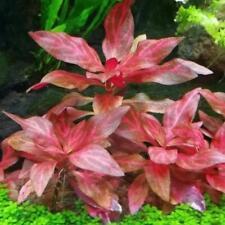 Alternanthera Rosanervig Bunch Tropica Sunset Live Aquarium Plants Buy2Get1Free*
