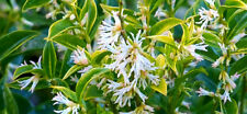 FRAGRANT HIMALAYAN SWEET BOX WINTER FLOWERING AND ATTRACTIVE BERRIES 20 SEEDS