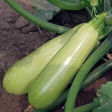 Seeds Squash Zucchini Kustovou White Vegetable Organic Heirloom Russian Ukraine