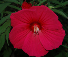 10 SEMI DI HIBISCUS MOSCHEUTOS ''RED''