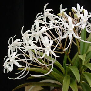 Orchid Vanda (Neofinetia) falcata Cal#4 x Neofinetia 'White Flamingo'
