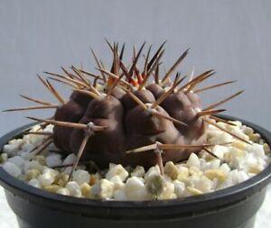 50 Fresh seeds, Gymnocalycium piltziorum, 種子 เมล็ดพันธุ์ semilla Rare Cactus
