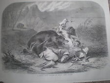 A Pawnee Indian attacked by a grizzly bear 1860 old print