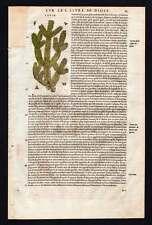 Botanique plante LE SAPIN CONIFERE gravure aquarellee de Matthiole 1572 à Lyon