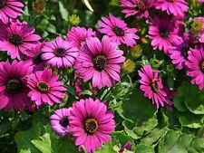 15 Transvaal Daisy Seeds Marigold Osteospermum Garden Flowers