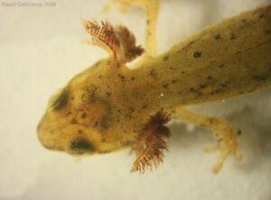 Eastern newt tadpoles live