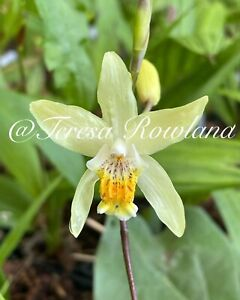 Bletilla Ochracea Chinese Yellow Butterfly Hardy Ground Orchid 1 Bulb USA