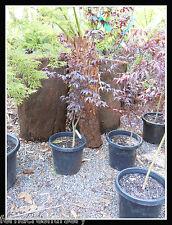 FAON - Japanese maple , Acer  palmatum Blood Good.