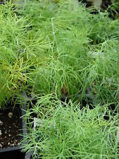 🌿 500 Samen Dill blattreich aromatisches Gewürz und Heilkraut
