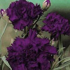 CARNATION FLOWER SEEDS - BLACK/PURPLE - BULK - C