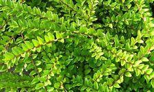 5 Lonicera Nitida  Hedging Box Honeysuckle Tree Plants, 20cm Tall In 9cm Pots