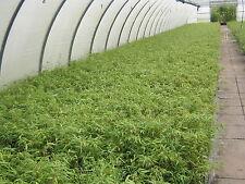 10 Fargesia rufa,30-40 cm, Bambus, Gräser, Sichtschutz, Hecke, 0 Ausläufer