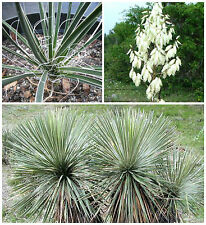 50 semi di Yucca constricta, piante succulente,seed succulents