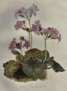 """H.G. Moon's Antique Floral - """"PRIMULA MEGASAEFOLIA"""" - Chromolithograph - 1903"""