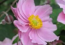 20+  Pink  Anemone  Flower Seeds / Perennial
