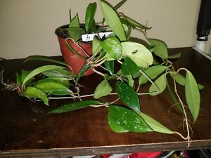 """Variegated Hoya Pubicalyx Pink Silver Rooted 6"""" Pot Wax Tropical Plant Huge 70"""""""