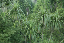Cordyline sellowiana - Cabbage Palm - 10 Seeds