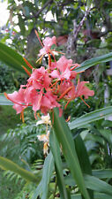 Coral Butterfly Ginger Hedychium, Rhizome w/ Roots cutting, Stunning Flower!!!