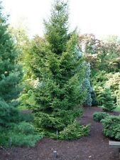 Picea orientalis ORIENTAL SPRUCE - EVERGREEN TREE Seeds!