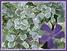 Variegated Vinca 10 Bare Root Plants Variegata Big leaf Periwinkle Vine Myrtle