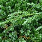 Juniperus chinensis Blue Alps Chinese Juniper Evergreen Conifer