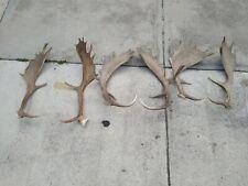 6 Fallow Deer Antlers - Taxidermy Antlers Mount, Horns,