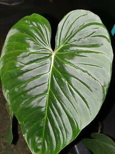 Philodendron 'Majestic' Verrucosum x Sodori - Aroid