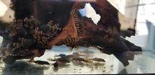 New listing 5 juveniles L397 Pleco ( Tank Bred ) Small (Tl 1-1.25 inches)
