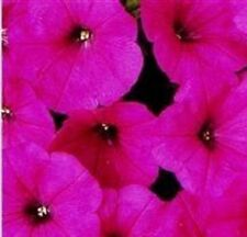 Petunia - Mirage Rose - 50 Seeds