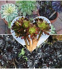 Aeonium Mixed Varieties 20 Seeds
