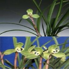 Cymbidium goeringii 'rui mei' Orchid Species Fragrant Import Potted