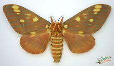 citheronia REGALIS royal NOIX Papillon de nuit ensemble x1 femelle taxidermie
