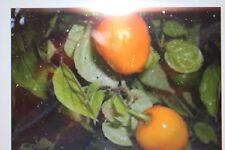 5 Semillas árbol chili, amarillo, más leve Variedad,perenne,#281