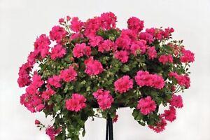 6 Trailing Ivy Leaf Geranium Magenta Hanging  Basket Patio Jumbo Plug Plants