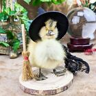 W144D Witch Taxidermy Oddities Curiosities Long Island baby duck duckling Disply
