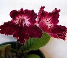 STREPTOCARPUS Cape Primrose SPECIAL DRAGON MIX Houseplant 20 Seeds