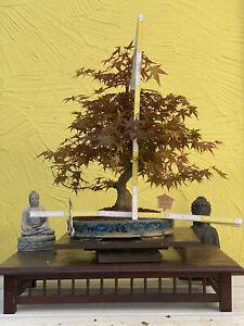 "Joe Bonsai Acer Palmatum "" Deshojo "" Jap.fächerahorn Maple Great Cover Organic"