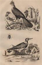 Touroco (Guinea Turaco bird). Tournepierre (Eurasian Wryneck). Trachyde 1834